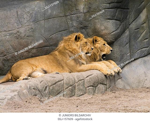 African lion - two males / Panthera leo