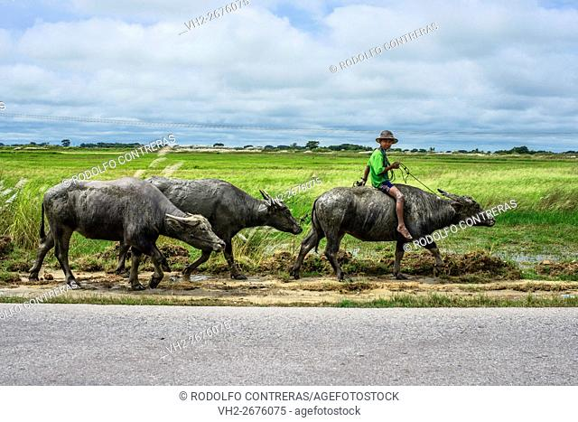 Kid riding a buffalo in Myanmar