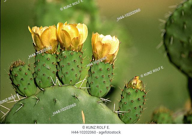 10202060, blossoms, flourishes, real cowardly cactus, yellow, cactus, Opuntia ficus indica