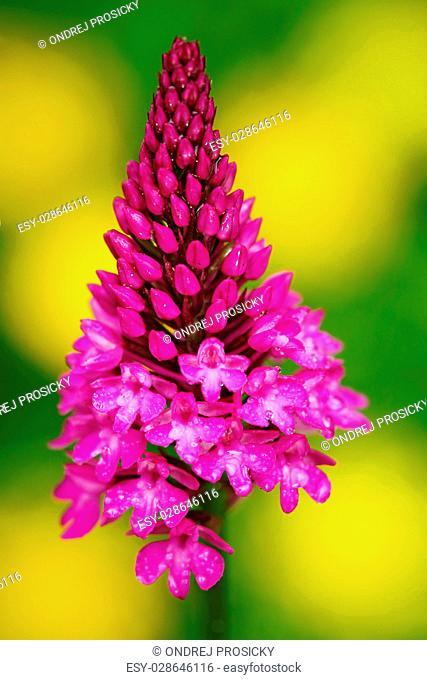 Pyramidal Orchid, Anacamptis pyramidalis