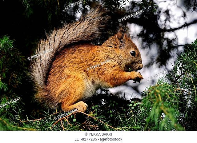 A squirrel Sciurus vulgaris eating juniper berries in Hyvinkää, Finland