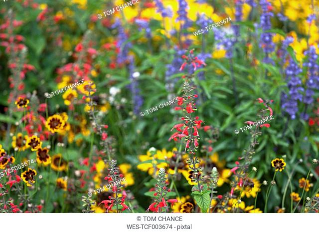 Variations of Salvia and tickseed (Coreopsis) in flower bed