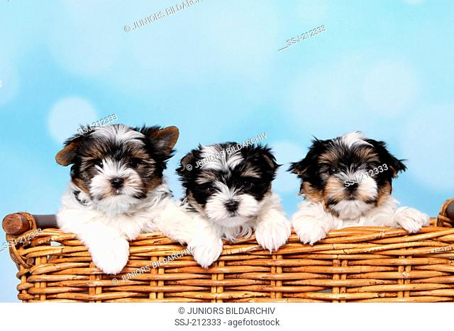 Biewer Terrier. Three puppies (8 weeks old) in a wicker basket. Studio picture against a blue background. Germany