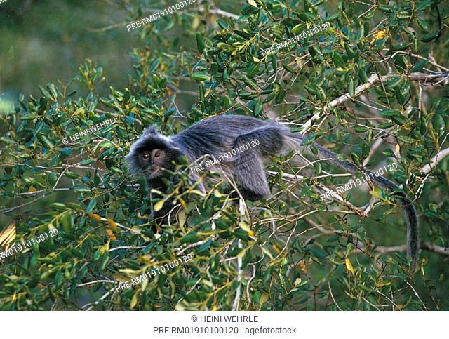 Silvered leaf monkey, Presbytis cristata, Trachypithecus cristatus