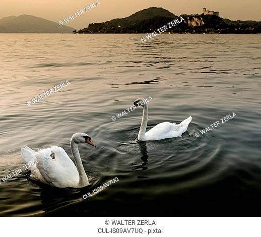 Swans on water, Lake Maggiore, Piedmont, Lombardy, Italy