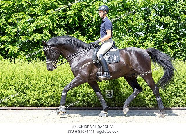 Hanoverian Horse. Black stallion with rider trotting in a riding place. Germany