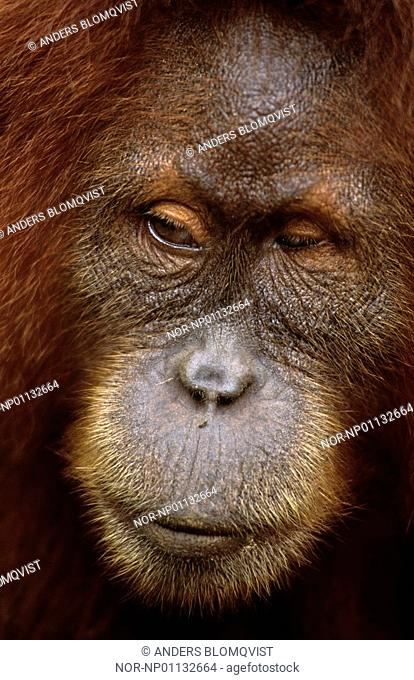 Portrait of Sumatran orangutan in detail