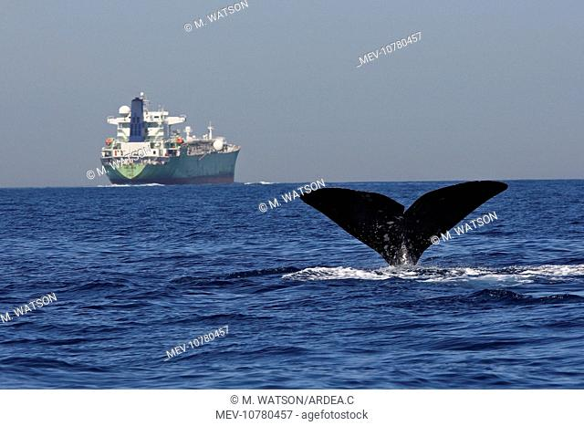 Sperm Whale - diving with cargo ship in background. (Physeter macrocephalus)