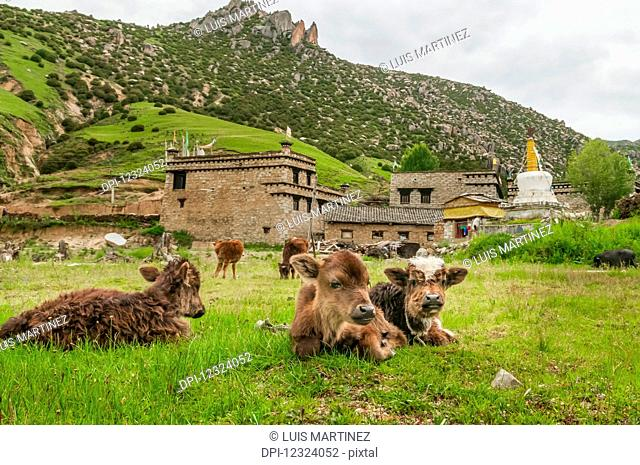 A few calves having a rest in a meadow, a small Tibetan village behind them; Daocheng, Sichuan province, China