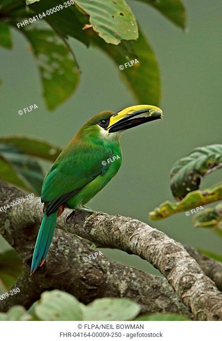 Emerald Toucanet (Aulacorhynchus prasinus virescens) adult male, with food in beak, perched on branch, La Tigra N.P., Honduras, February