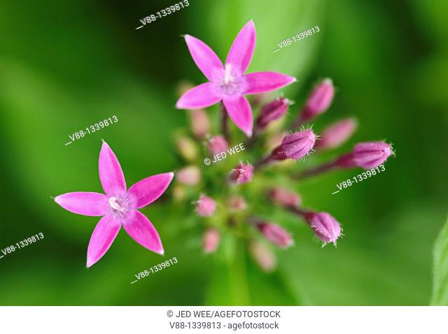Chinese Lobelia (Lobelia chinensis), a flowering plant found in various parts of Asia that is valued as a herb in China, believed to cause diuresis