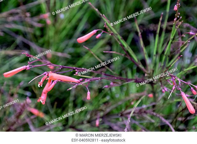 Russelia equisetiformis, known as fountainbush, firecracker plant, coral plant, coral fountain, coralblow and fountain plant - Varadero, Cuba