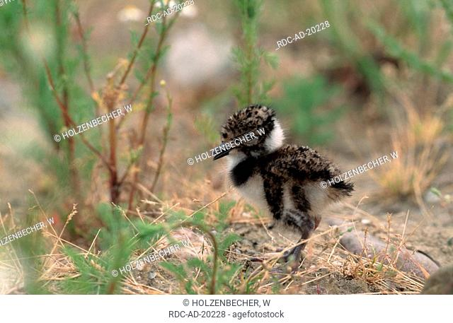 Lapwing chick North Rhine-Westphalia Germany Vanellus vanellus