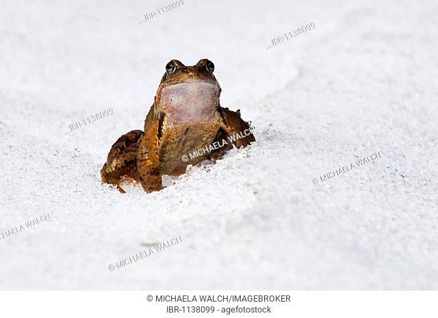 European Common Brown Frog (Rana temporaria) migrating over snow