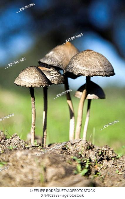 Fungi on a dung, Sanlucar la Mayor, Seville province, Andalusia, Spain