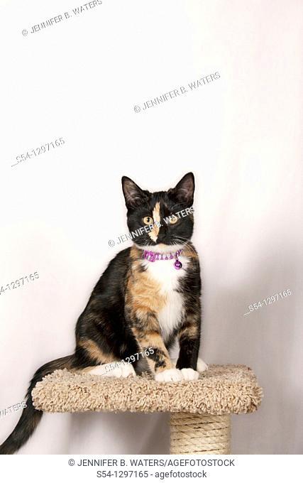A tortoiseshell calico kitten sits on a cat post
