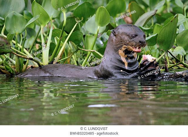 giant otter (Pteronura brasiliensis), eating fish, Brazil, Mato Grosso, Pantanal, Rio Cuiaba