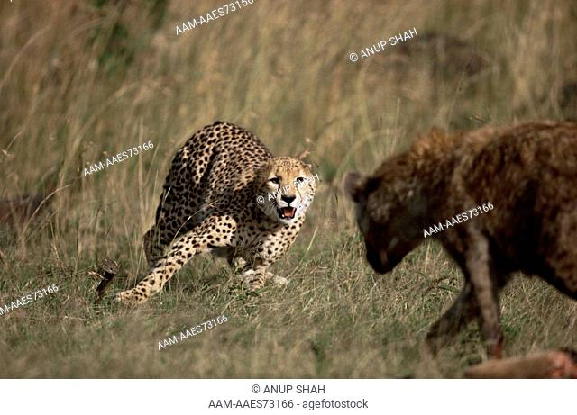 Cheetah (Acinonyx jubatus) defending kill from Spotted hyaena (Crocuta crocuta) Maasai Mara National Reserve, Kenya