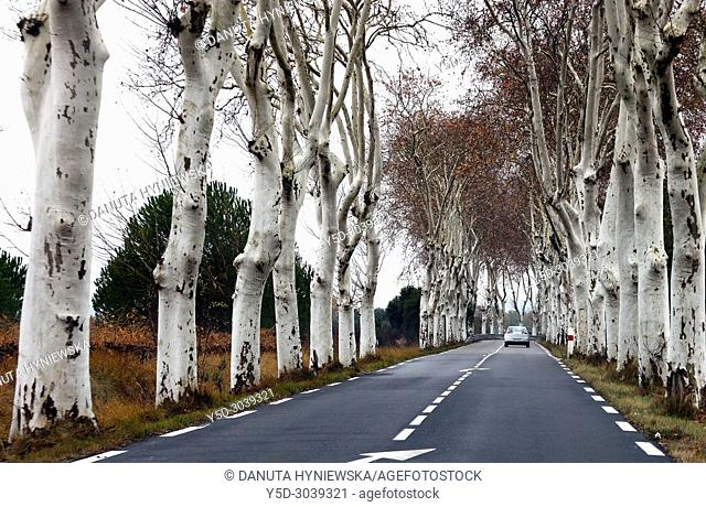 Platanus country road, Catalonia, Spain, Europe