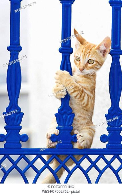 Europe, Greece, Cyclades, Thira, Santorini, Oia, Kitten climbing on fence