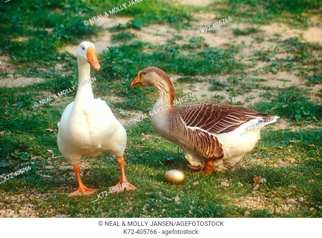 Male and female goose with gold egg