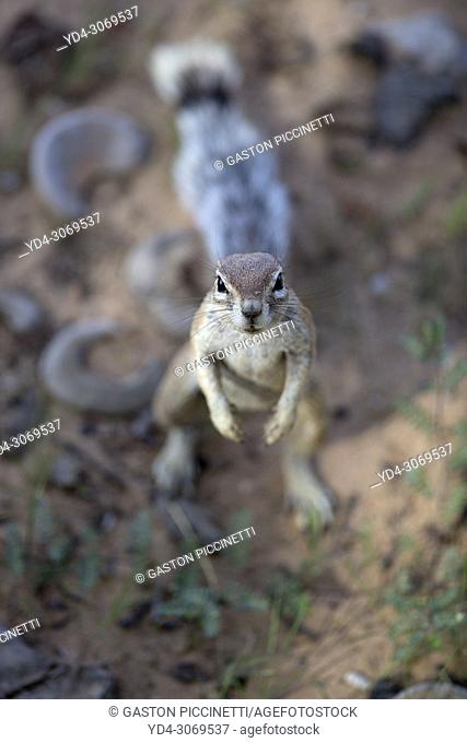 Ground Squirrel (Xerus inauris), Kgalagadi Transfrontier Park, Kalahari desert, South Africa/Botswana.