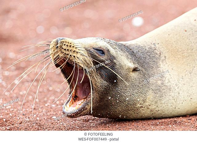 Ecuador, Galapagos Islands, Rabida, portrait of yawning sea lion