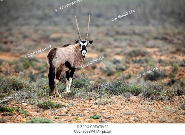 Gemsbok (Oryx gazella), Sutherland, Northern Cape, South Africa