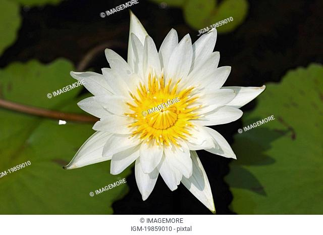 Close-up of a white lotus