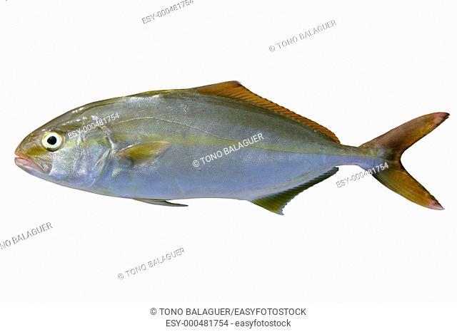 Seriola dumerili fish greater amberjack fish isolated on white