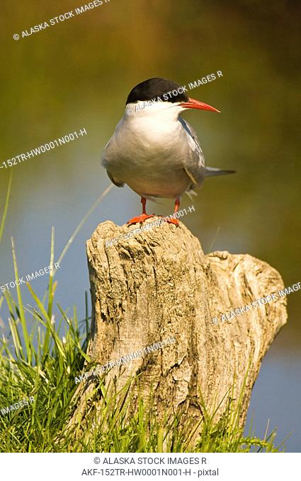 Arctic Tern perched on a stump in Potter's Marsh, Anchorage, Southcentral Alaska, Summer