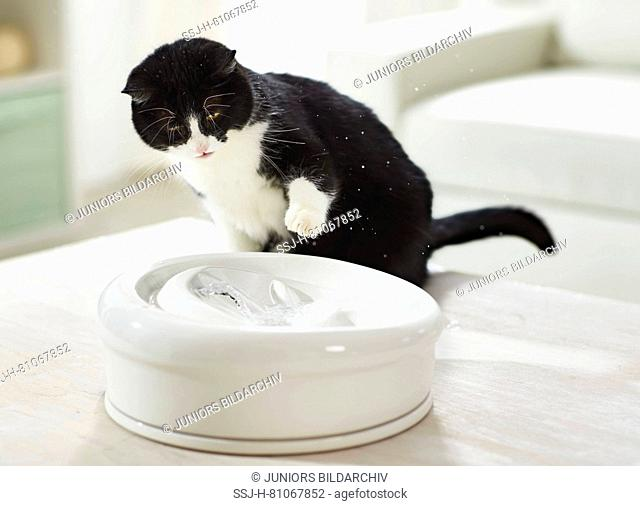 Domestic cat. Adult cat playing with water at an indoor fountain. Germany