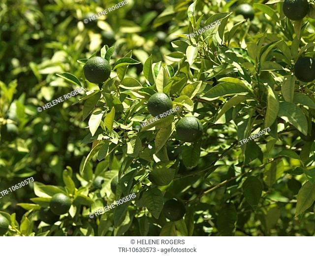 Greece Green Oranges Not Ripe Yet Growing On Tree