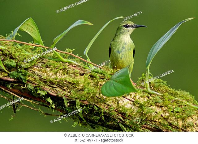 Red-legged Honeycreeper, Cyanerpes cyaneus, Tropical Rainforest, Costa Rica, Central America, America