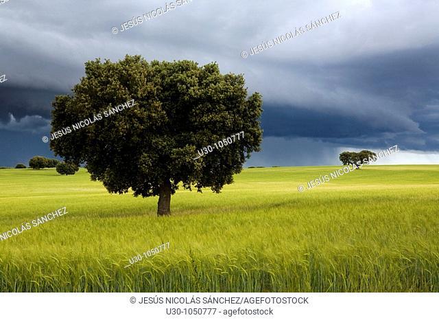 Landscape with stormy sky of cereal fields with oaks, in Parada de Arriba  Salamanca  Castilla y León  Spain