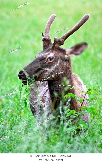 A Young Elk buck grazing in Great Smoky Mountains National park