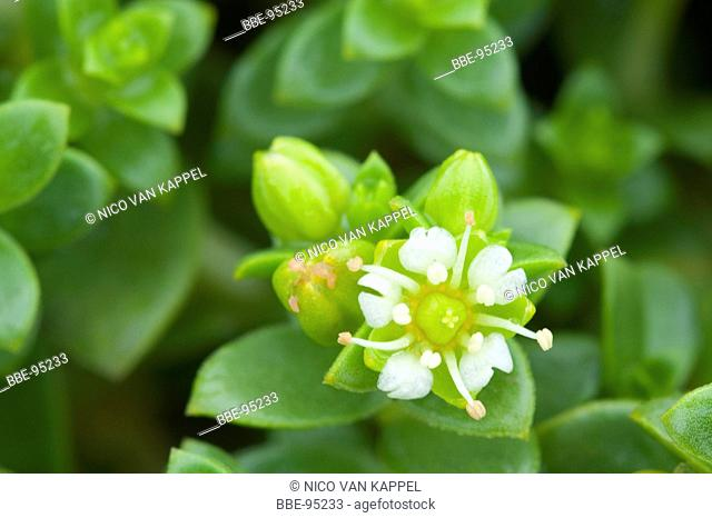 flowering Sea Sandwort