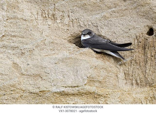 Sand Martin / Bank Swallow ( Riparia riparia) sitting in the entrance of its nest hole in a steep river bank, wildlife, Europe