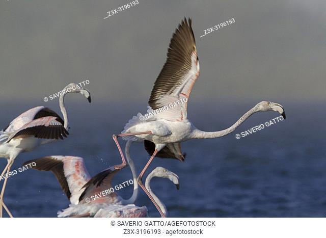 Greater Flamingo (Phoenicopterus roseus), immatures in flight