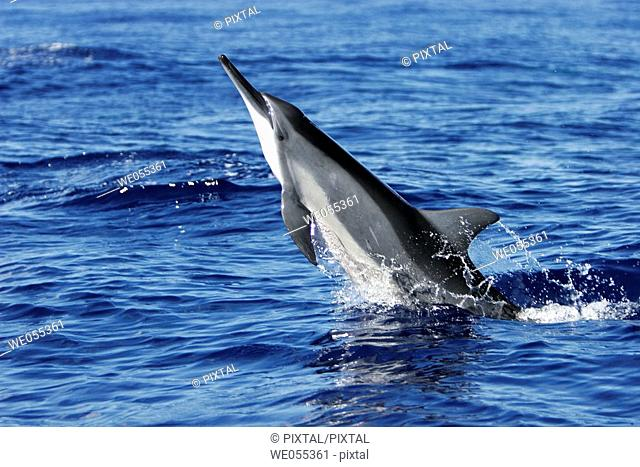 Hawaiian spinner dolphin Stenella longirostris leaping in the AuAu Channel off the coast of Maui, Hawaii, USA  Pacific Ocean