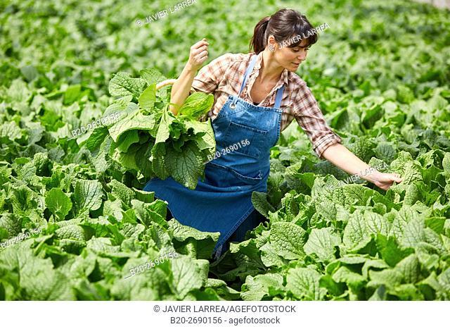 Farmer, borage collection, Borago officinalis, Greenhouse, Agricultural field, Villafranca, Navarra, Spain, Europe