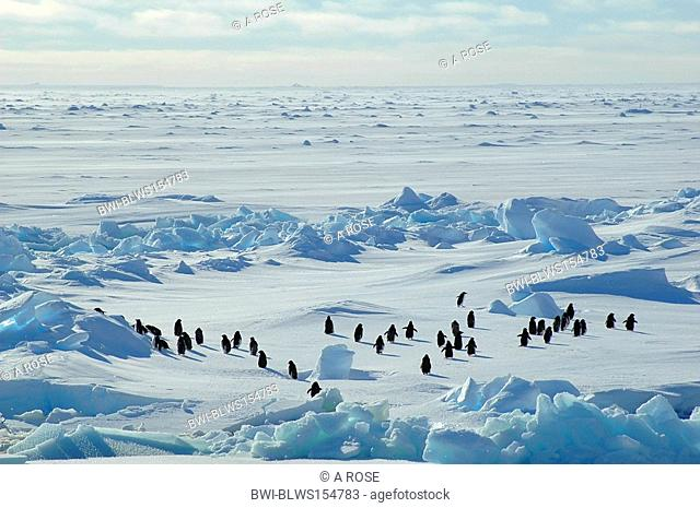 adelie penguin Pygoscelis adeliae, group of about forty Antarctic adelie penguins running into the blue wideness of an Antarctic icescape scenery, Antarctica