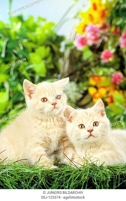 two British Shorthair kittens - in the grass