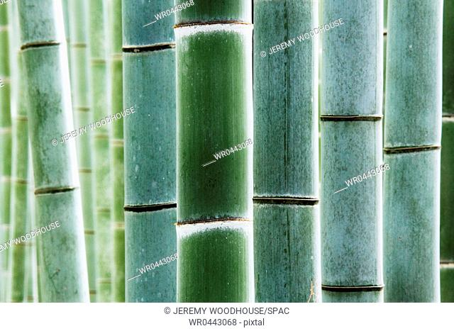 Detail of Bamboo in a Forest