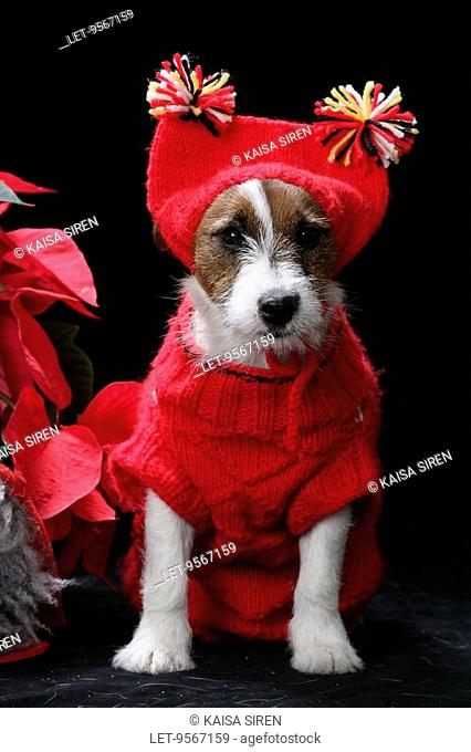 A Jackrussellterrier is ashamed as dressed in a Christmas costume