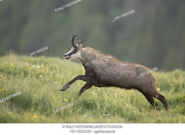 Alpine Chamois ( Rupicapra rupicapra ) in a hurry, on the run, jumping over flowering mountain meadows, in action, wildlife, Europe