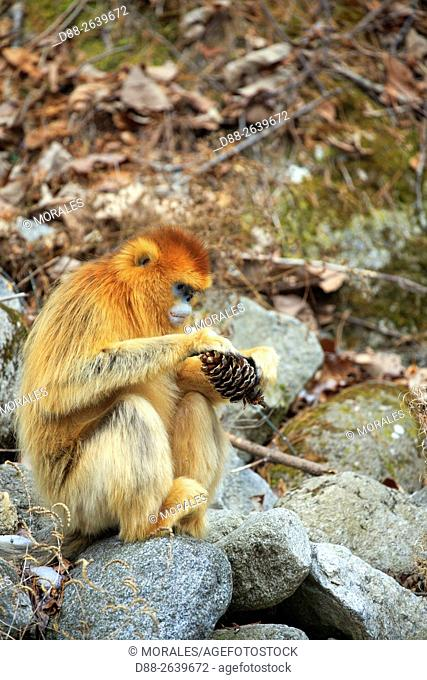 Asia, China, Shaanxi province, Qinling Mountains, Golden Snub-nosed Monkey (Rhinopithecus roxellana), eat seeds from a pine cone