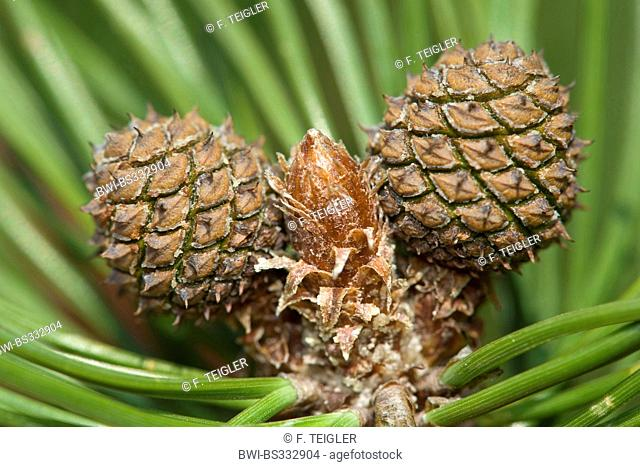 Mountain pine, Mugo pine (Pinus mugo), young cones, Germany