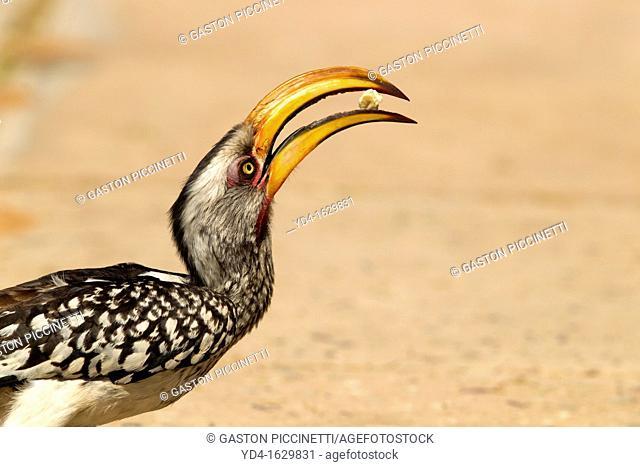 Yellowbilled Hornbill Tockus flavirostris, eating, Mabuasehube, Kgalagadi Transfrontier Park, Botswana