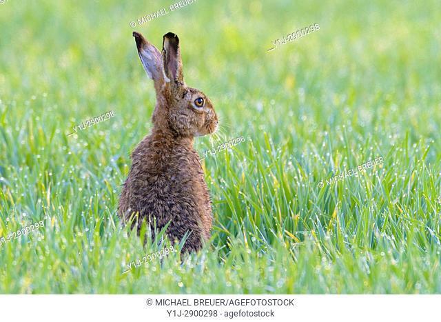 European brown hare (Lepus europaeus) in Cornfield, Springtime, Hesse, Germany, Europe